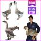 厂家直销江苏鹅苗业 镇江杂交鹅苗批发 品种纯正包教养殖技术
