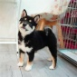 黑色柴犬双血统赤色日本柴犬幼犬日本秋田犬厂家直销
