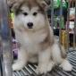 阿拉斯加犬图尿尿狗宠物家养狗狗价格