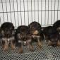 德牧图片  大型德国牧羊犬舍 纯种德国牧羊犬价格 大量现货