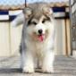白色阿拉斯加犬